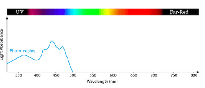 Line graph showing the relative amounts of light absorption at different light wavelengths by the photosynthetic pigment family known as the Phototropins