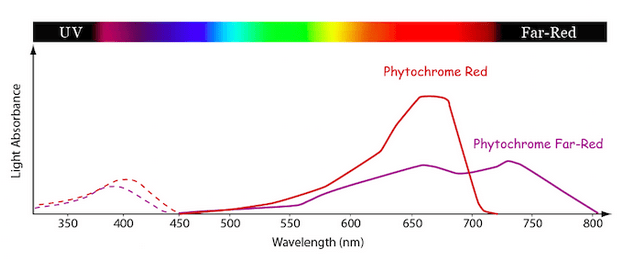 Line graph showing the relative amounts of light absorption at different light wavelengths by the photosynthetic pigment family known as the Phytochromes