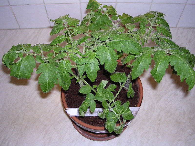 Image of a young tomato plant grown under LED grow lights