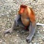 The Primates Of Borneo