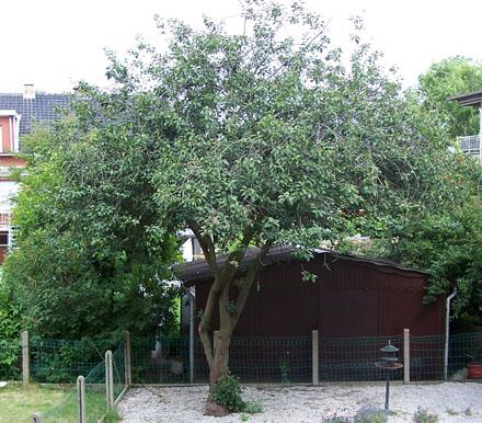 kriekenboom