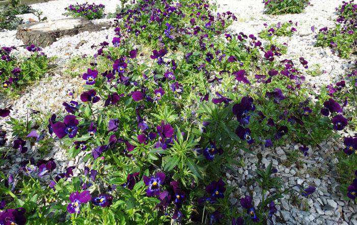 violetjes