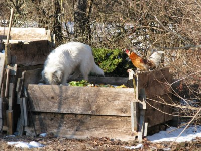 Dog and chickens on compost pile