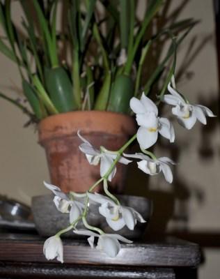 Odontoglossum pulchellum orchid