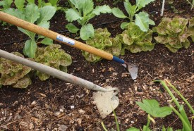 Comparison of the winged weeder with a conventional garden hoe.