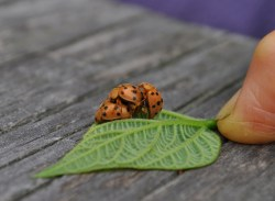 A Mexican bean beetle threesome