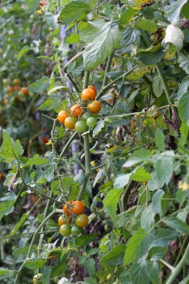 Sungold, hands down the best tasting cherry tomato