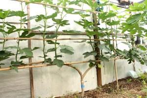 Espalier fig in greenhouse in July