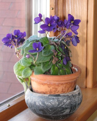 African Violet in all its glory.