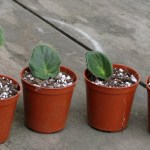 New leaf cuttings