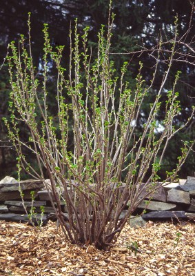 Black currant, before pruning