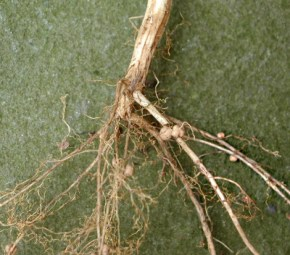 Nodules from nitrogen-fixing bacteria on soybean roots.