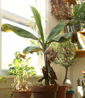 Indoor banana, this winter