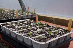 Seedlings in APS trays