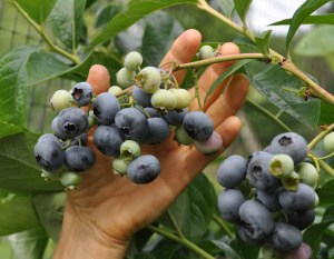 Blueberry fruits on plant