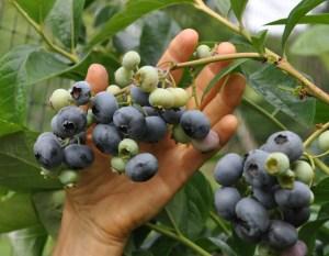 Blueberry fruits on plant