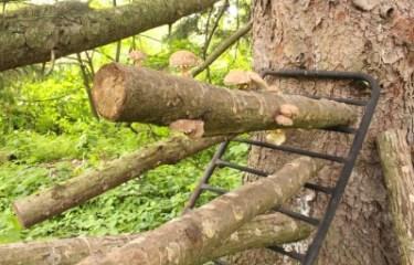 Shiitake logs fruiting