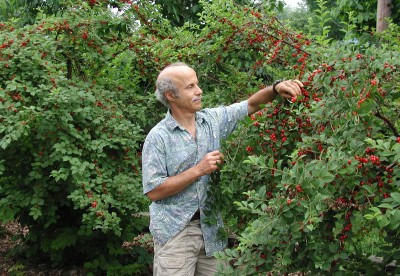 A profusion of Nanking cherries!