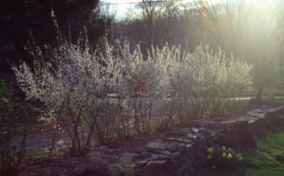 Nanking cherry in bloom in April