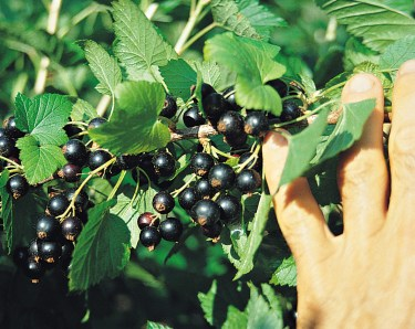 Belaruskaja black currants