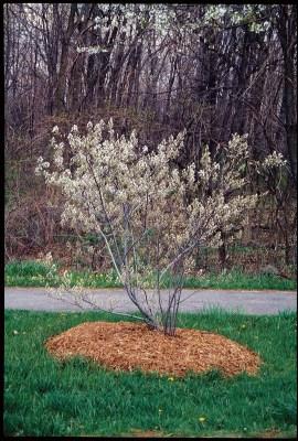 "One bush of my ""secret"" juneberries, in bloom in April."