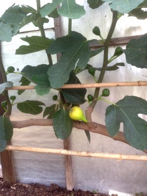 Early, breba fig crop not ripening on old stub