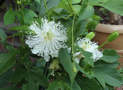 White maypop flower