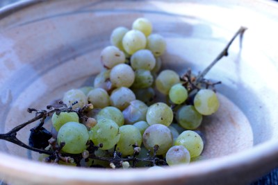 Grapes, frozen but delicious