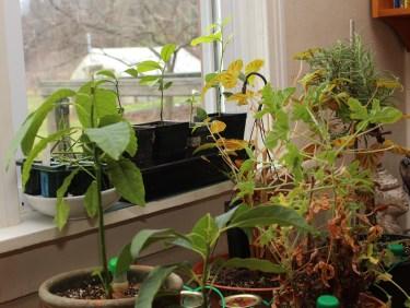 Windowsill fruits- avocado, Rhpsalis, lemon