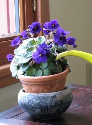 watering African Violet