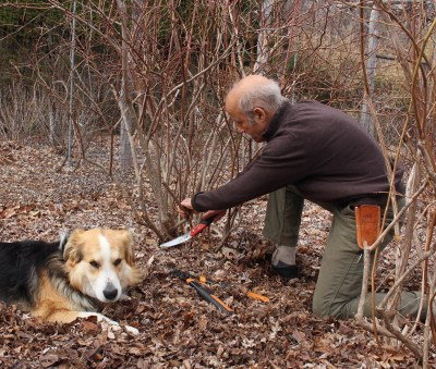 Sammy & me, pruning blueberries