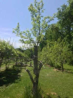 Half dead pear tree