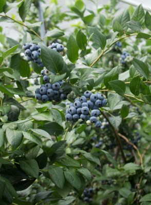Blueberry fruit cluster