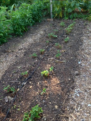 Strawberry plants, a few weeks after renovation