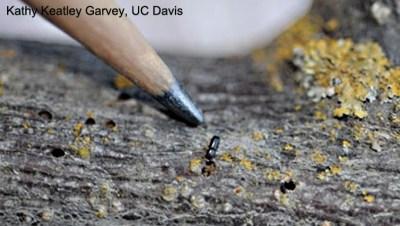 Walnut twig beetle