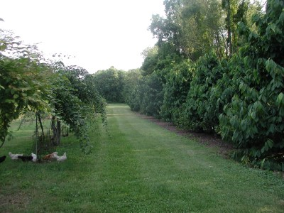 Pawpaws interplanted with blackcurrants, and a row of hardy kiwis