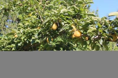 Yoinashi Asian pear