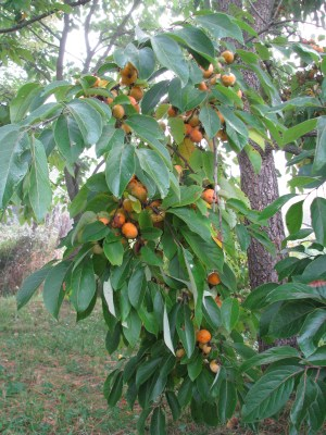 Persimmon fruits on tree
