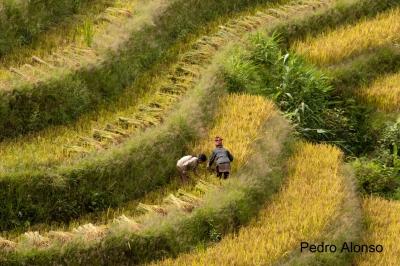 Terraced field in Viet Nam