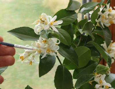 Pollinating Meyer lemon