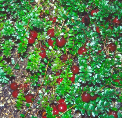 Cranberries on plants