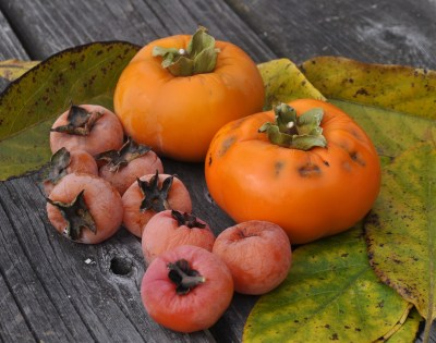 Asian & American persimmon, compared