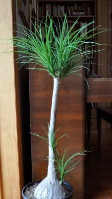 My ponytail palm