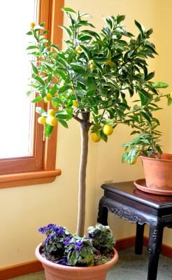 Meiwa kumquat plant