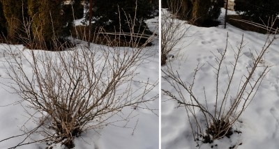 Gooseberry before & after pruning