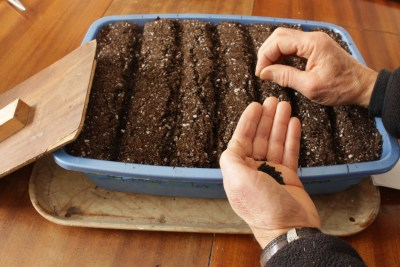 Sowing onions indoors