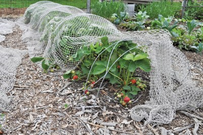 My strawberry bed in its prime