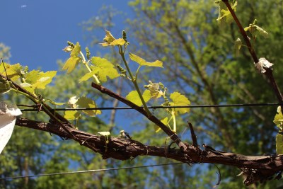 New shoots bearing grapes