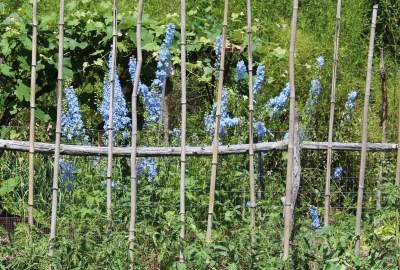 Delphinium at back of garden