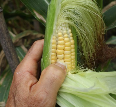 Corn, testing for ripeness